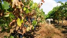 Klimawandel: Die Hitze in Südfrankreich gefährdet bekannte Rebsorten