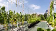 Ein Forschungsweinberg im Institut nationale de la recherche agronomique in Montpellier. Hier wird die Trockenheitsresistenz der Pflanzen untersucht
