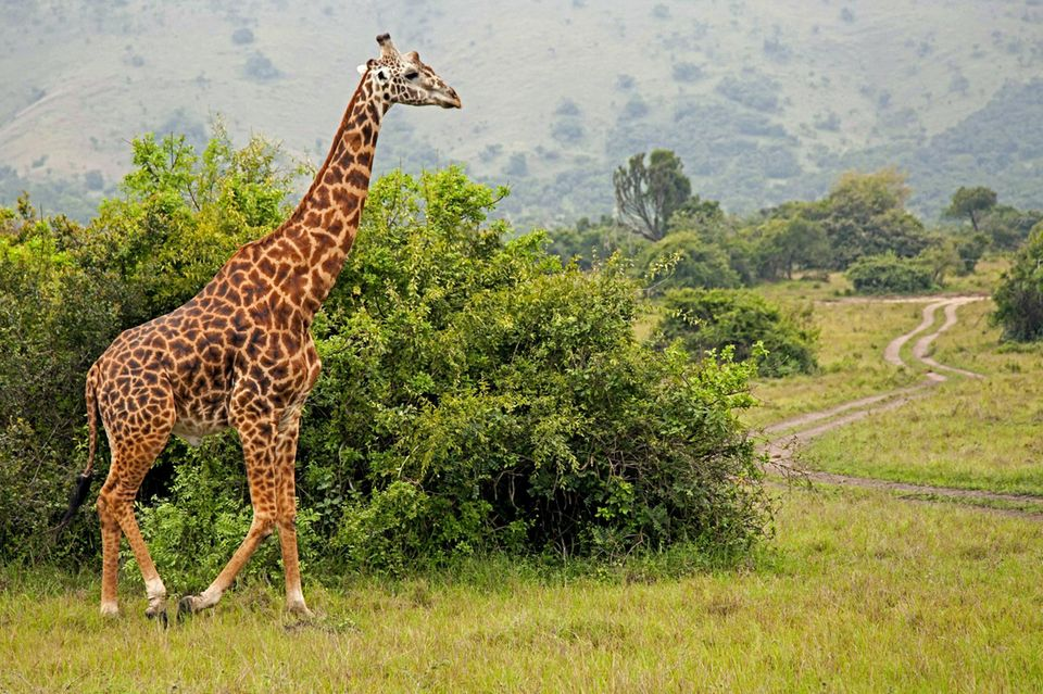 In der Savanne: eine Giraffe kreuzt gleich den Weg