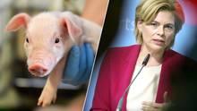 Bildcombo: Ferkel vor der Kastration und Agrarministerin Julia Klöckner