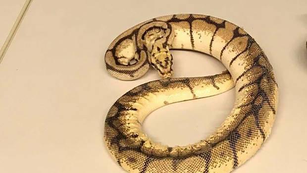 Eine kleine Python wie hier im Bild wurde in Lübeck in einem Mietwagen gefunden