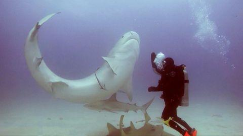 Meeresbiologin Leigh Cobb führt einen Fünf-Meter-Tigerhai an der Nase herum
