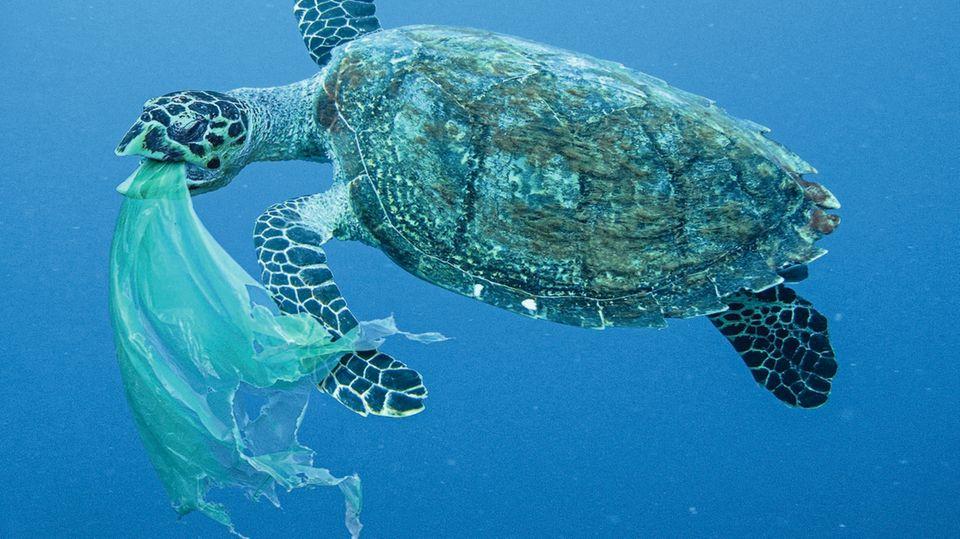 Diese Meeresschildkröte schluckt eine Tüte, die sie wohl für eine Qualle hielt. Pro Jahr verenden rund eine Million Seevögel, 100.000 Meeressäuger sowie unzählige Schildkröten und Fische durch Plastik im Meer.