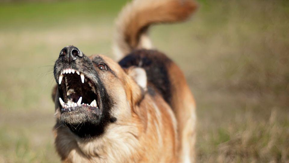 Der Hund soll laut Polizei einem Schäferhund ähnlich sehen(Symbolfoto)