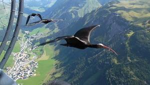 Begleitet vom Ultraleichtflugzeug: Die Waldrappen sollen über die Alpen fliegen.
