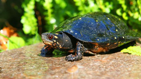 Tropfenschildkröte