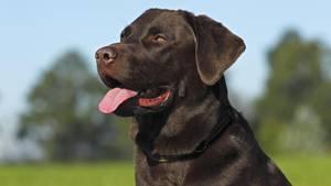 Bei dem Hund Lucy handelt es sich um einen Labrador, ähnlich dem Tier auf diesem Foto