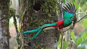 Lebt in denNebelwaldgebieten Costa Ricas: ein Exemplar des Quetzal mit seinen langenSchwanzfedern.
