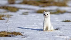 Ein Hermelin im Schnee