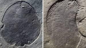 "Fossil ""Dickinsonia"""
