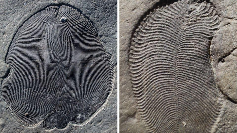 "Fossil ""Dickinsonia"""