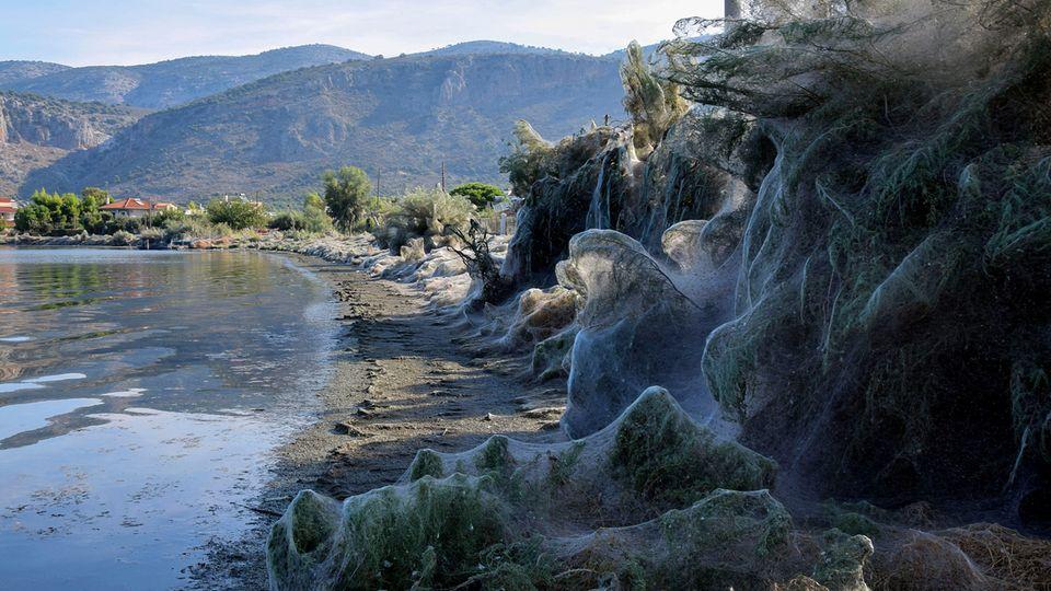In Etoliko (Griechenland) haben Spinnen Bäume und Boote mit einem weißen Schleier überzogen