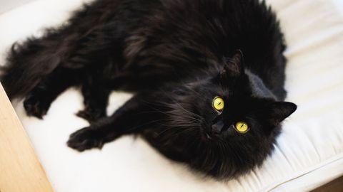 Eine schwarze, struppelige Katze liegt auf einer weißen Decke und schaut in die Kamera