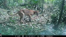 In die Bewegungsfalle getappt und fotografiert: Ein Puma im Selva Bananito Reservat