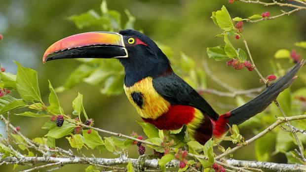 DerHalsbandarassari gehört zur Familie der Spechtvögel
