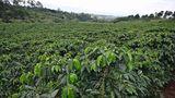 Auf einer Kaffeeplantage: In der Meseta Central gedeihen in einer Höhe zwischen 800 und 1800 Metern die Kaffeestauden. Die reifen Kirschen werden, wenn sie rot gefärbt sind, von Hand geerntet. In Costa Rica wird nur Kaffee der Sorte Arabica angebaut.