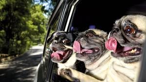 Drei Möpse schauen aus einem Autofenster