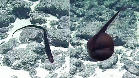 Hawaii: Halb Vogel, halb Fisch? Dieser Tiefsee-Aal verwandelt sich spektakulär