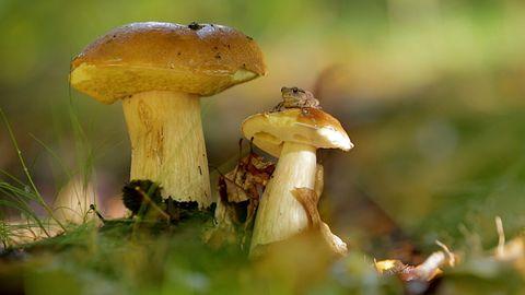 Steinpilz, Marone und Pfifferling: Die besten Tricks beim Pilzesammeln