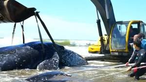 Argentinien: Gestrandeter Buckelwal nach 28 Stunden gerettet