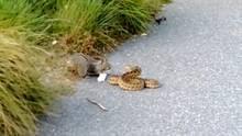 Eichhörnchen legt sich mit einer Schlange an