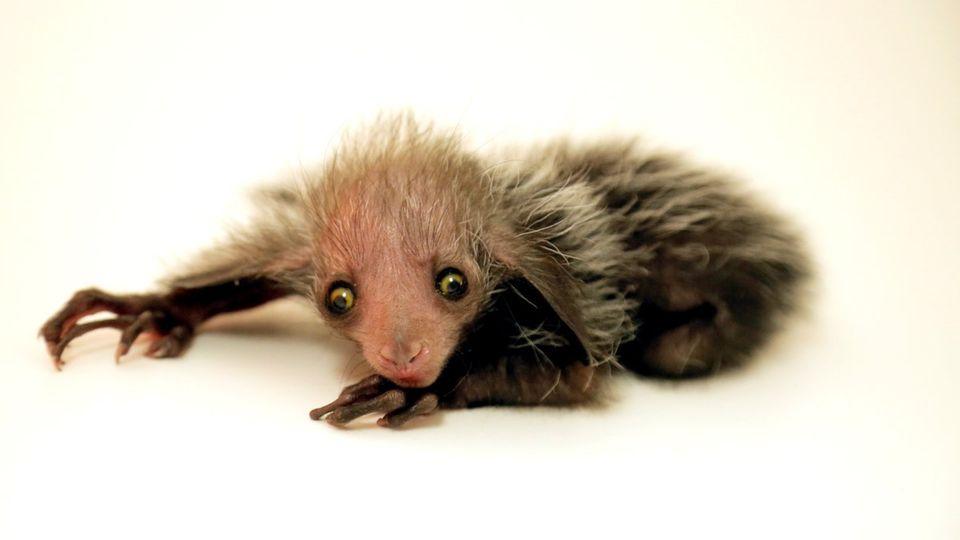 Eines der seltensten Tiere wird im Zoo von Denver geboren: Ein Fingertier
