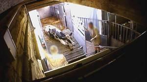 An den Beinen aus dem Transporter geschleift: Diese Kuh ist eindeutig zu schwach und dürfte laut Gesetz nicht mehr geschlachtet werden.