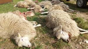 """Tote Schafe der Herde der Naturschutzstation """"Östliche Oberlausitz""""liegen nach einem tödlichen Wolfsangriff auf einer Wiese"""