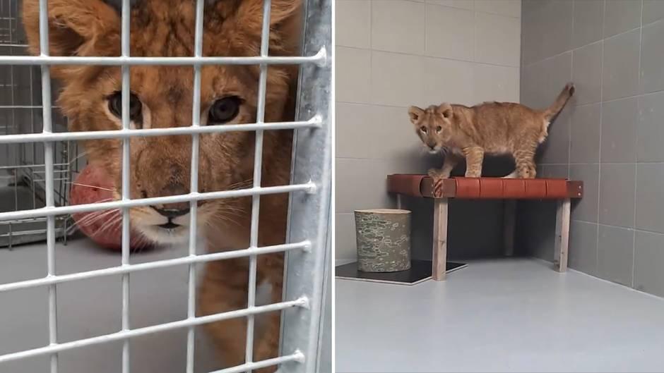 Außergewöhnlicher Fund: Jogger entdeckt ausgesetztes Löwenbaby auf Feld in den Niederlanden