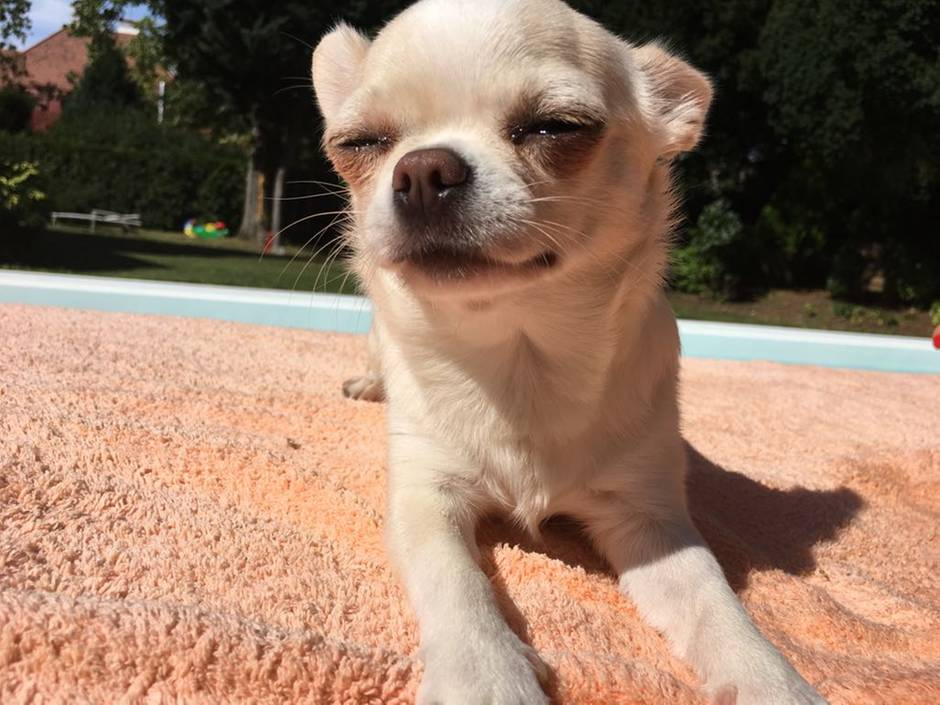 Chihuahua Ruby