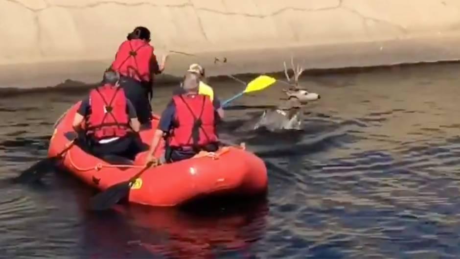 Rettungsaktion: Hirschpaar stürzt in Kanal - Feuerwehrfrau rettet es mit einem beeindruckenden Trick