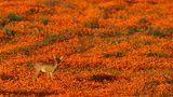 Namaqua National Park  Einer der unbekannteren Nationalparks Südafrikas. In den meisten Monaten bekommt man hier auch nicht allzu viel zu sehen. Im afrikanischen Frühling - also im August und September -verwandelt sich der Park jedoch in ein leuchtend-buntes Blütenmeer. Viele Pflanzen wachsen nur in dieser Region.