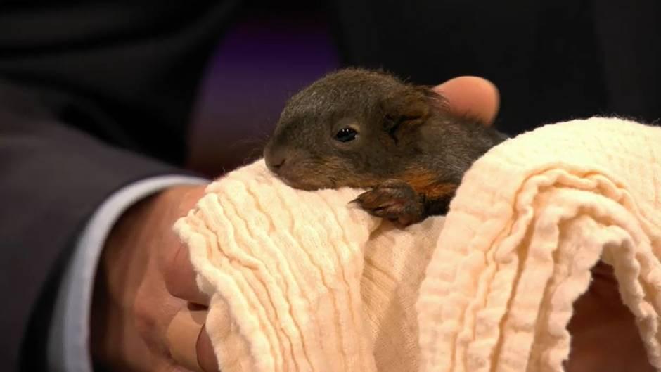 Findelkinder: Das raten die Expertinnen zum Umgang mit Eichhörnchen