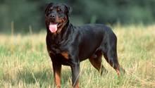 Ein Rottweiler. Ein Hund dieser Rasse hat ein Kind in Wien totgebissen. Jetzt soll eine Promillegrenze für Hundehalter kommen