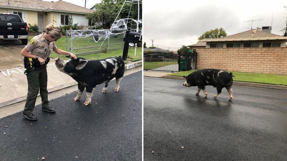Riesenschwein büxt aus – und die Polizei muss eine kreative Lösung finden