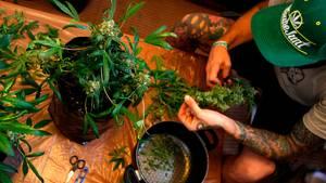 Jobs für Kiffer: Kanadisches Unternehmen sucht Cannabis-Tester