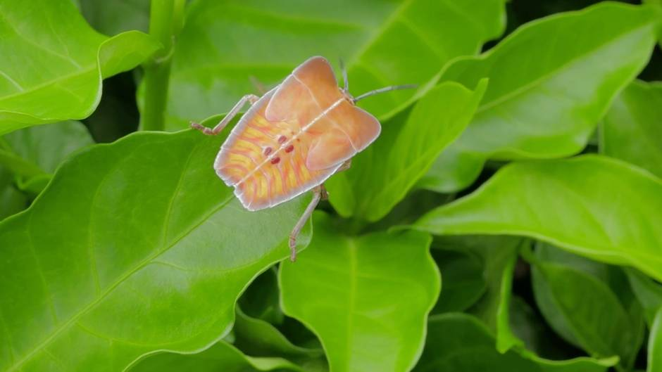 Die Stinkwanze auf einem Blatt