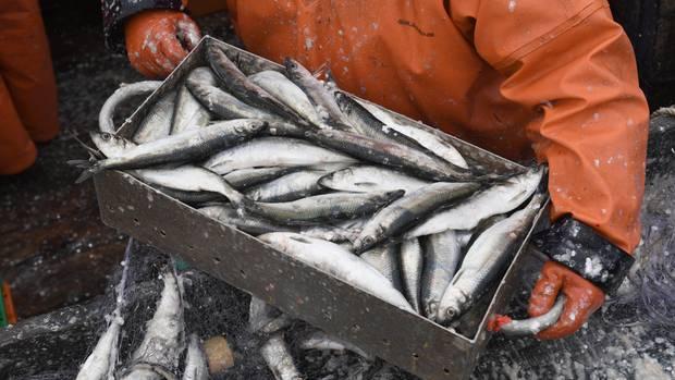 WWF-Empfehlung zum Verzehr von Fisch: Ein Fischer holt auf einem Fischkutter gefangene Heringe aus dem Stellnetz.