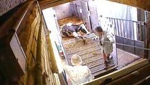 Altersschwache Milchkühe: So brutal werden sie entsorgt