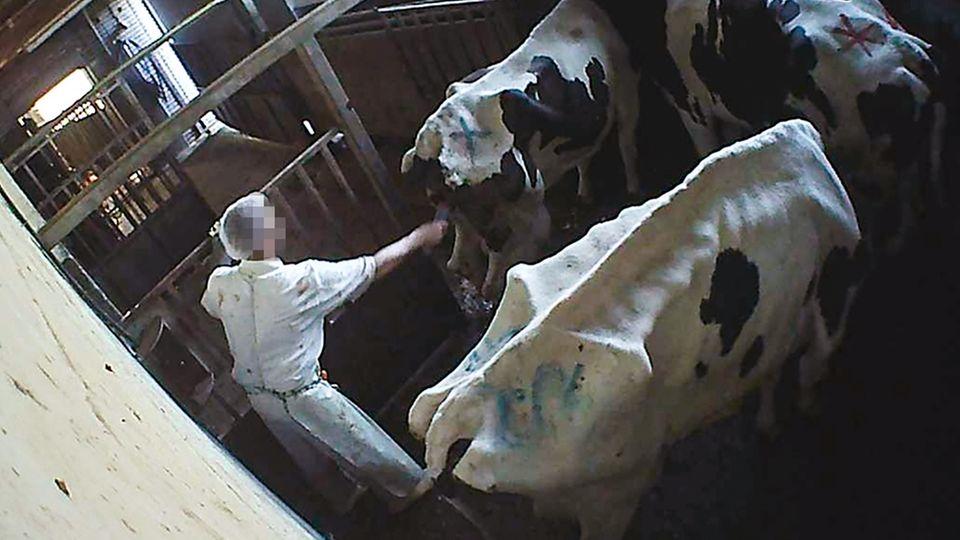 Viele der Kühe sind abgemagert