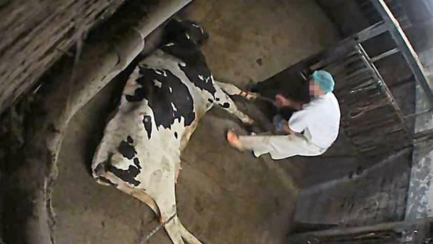 Einige der Kühe können sich nicht auf den Beinen halten