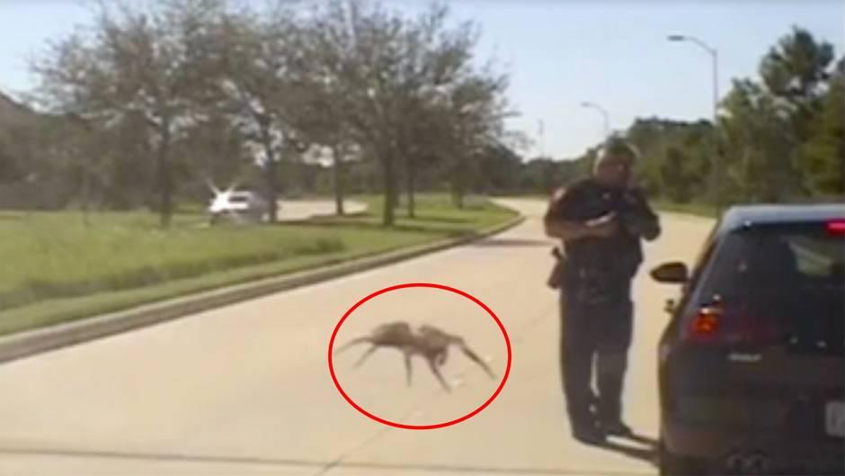 """Texas: """"Riesenspinne"""" bei Polizeikontrolle gesichtet"""