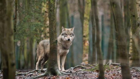 Ein Wolf im Tierpark Hexentanzplatz in Sachsen-Anhalt