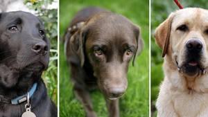 Drei Labradore mit schwarzem, braunem und gelbem Fell