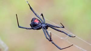 Schwarze Witwe in einem Netz