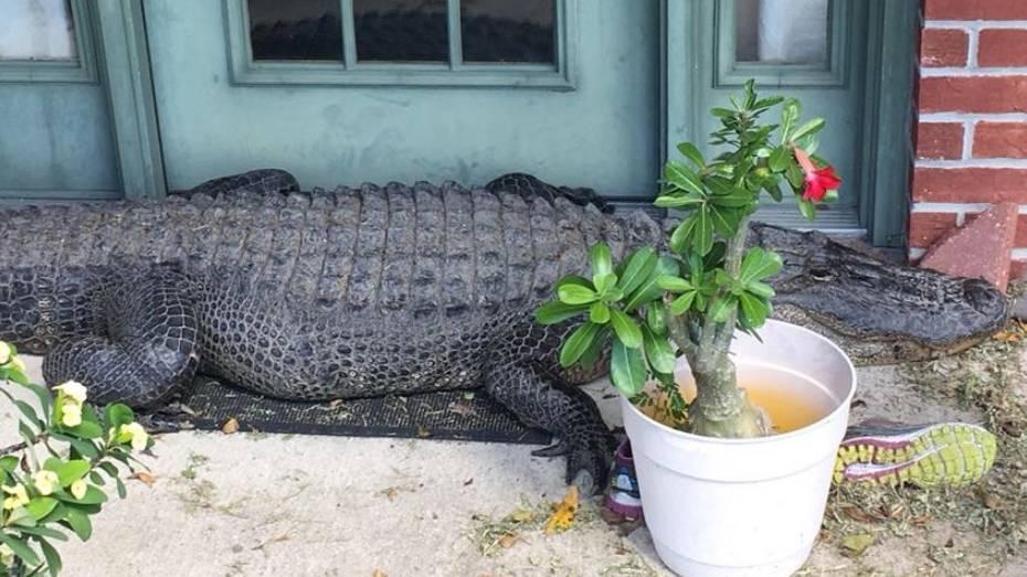 Überraschungsbesuch: Zwei-Meter-Alligator versperrt Bewohnern Weg aus ihrem Haus