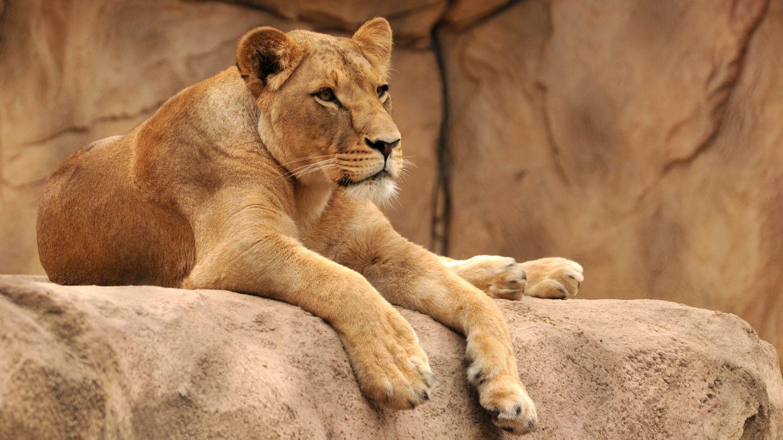 Löwenweibchen greifen Löwenmännchen eigentlich sehr selten an (Symbolbild)
