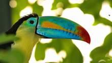 Coasta Rica Vogel