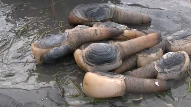 Salzwassermuschelart: Erinnern Sie diese Muscheln an etwas? Dann erraten Sie sicher auch ihren umgangssprachlichen Namen