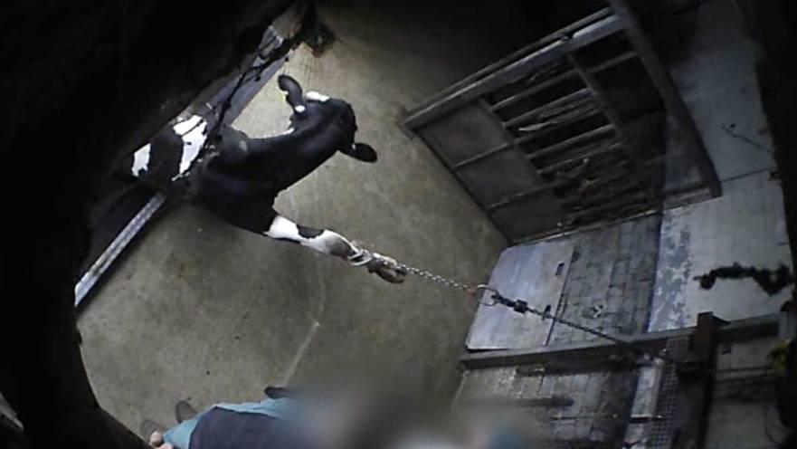 Aufnahmen der versteckten Kameras von Soko Tierschutz e.V. zeigen unter anderem, wie die Tiere mit Seilwinden vom Transporter gezogen werden.